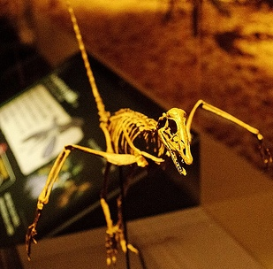 A museum's model of archaeopteryx, by ssr.ist4u (http://www.flickr.com/photos/ist4u/)